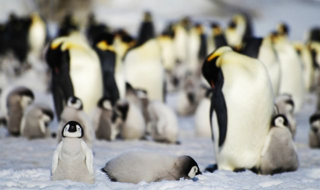 Discovery of hidden penguin colonies in Antarctica boosts known population to more than half a million