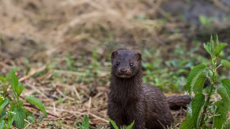 Mink, Mustelidae, with brown fur on grassy trail on a spring morning
