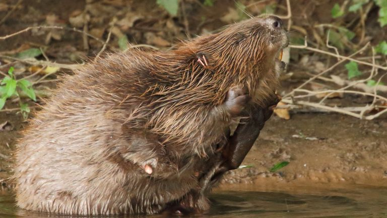 The beavers can continue to breed and expand their range on the river