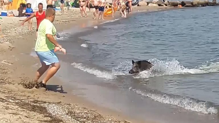 The boar is seen swimming towards the beach before running off past tents and towels as people scatter to clear a path.
