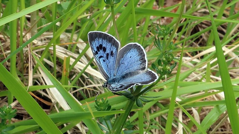 It is the largest reintroduction of the rare butterfly that was once extinct in Britain