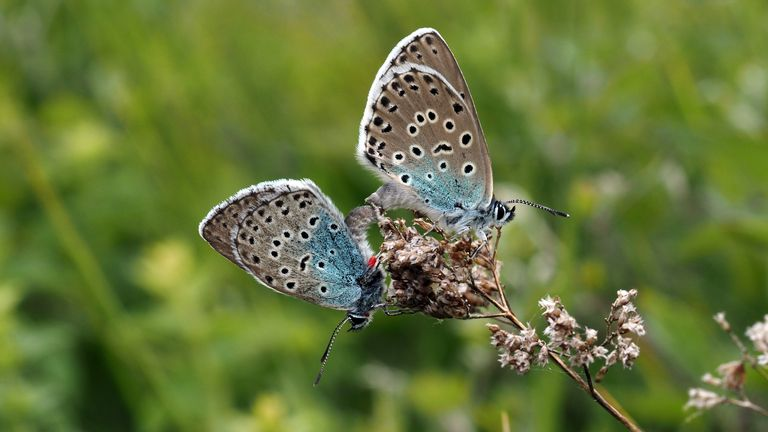 The large blue butterflies have been seen mating on Rodborough Common