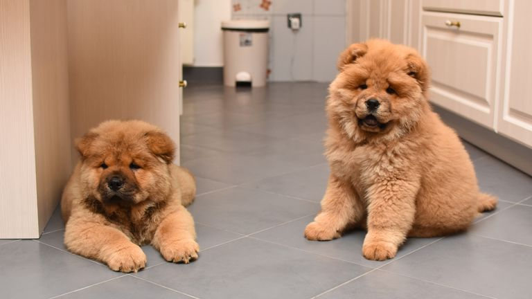 Chow Chow Puppies were going for an average of £1,872 in June