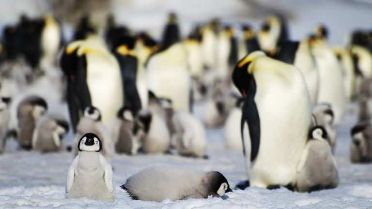 Emperor penguins in Antarctica, where eleven new colonies of the birds have been discovered