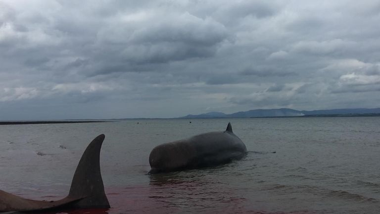 A total of seven northern bottlenose whales were stranded in Donegal, Ireland Pic: Nicola Coyle/ IWDG