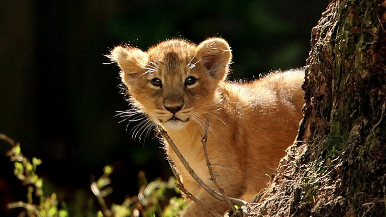 LONDON, ENGLAND - AUGUST 13: One of the two newborn lion cubs takes its first steps in their new enclosure at London Zoo on August 13, 2009 in London, England. The two cubs are the first Asian lions to be born at the zoo for ten years. (Photo by Dan Kitwood/Getty Images)