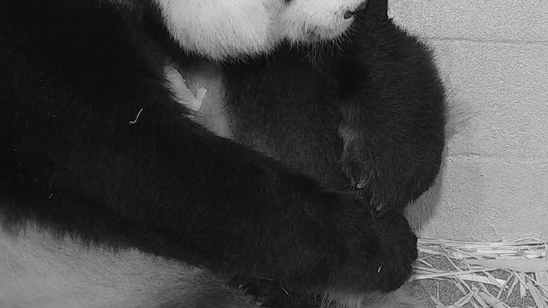 Panda cuddles her tiny baby after rare birth in Washington DC