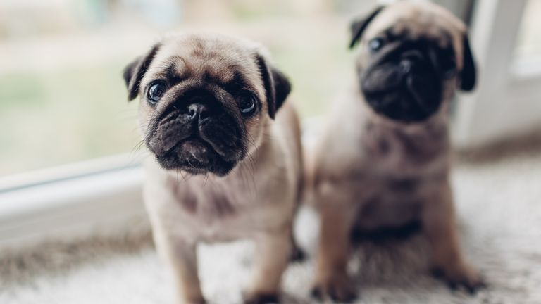 Pug puppies soared by 56%