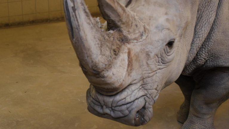 The southern white rhino called Karen