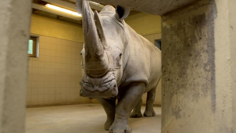 The southern white rhino called Karen