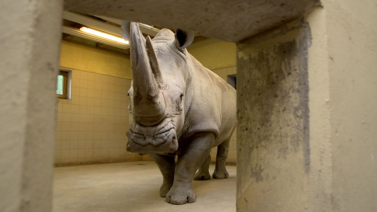 Experiment aims to save the endangered northern white rhino
