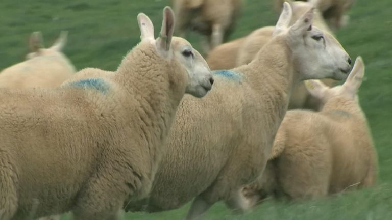 Livestock theft cost UK farmers £3m in the last 12 months