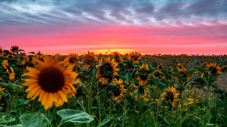 The sun rises behind the Sunflower Maze in Tarbock, Merseyside, where farmer Olly Harrison and his staff decided to #sayitwithsunflowers and visitors can explore half a million sunflowers planted across 17 acres (equivalent to over 12 football pitches). The flower maze, visible from the air from planes approaching Liverpool airport, is open to the public with half of the profits going to NHS charities and its charitable partners.