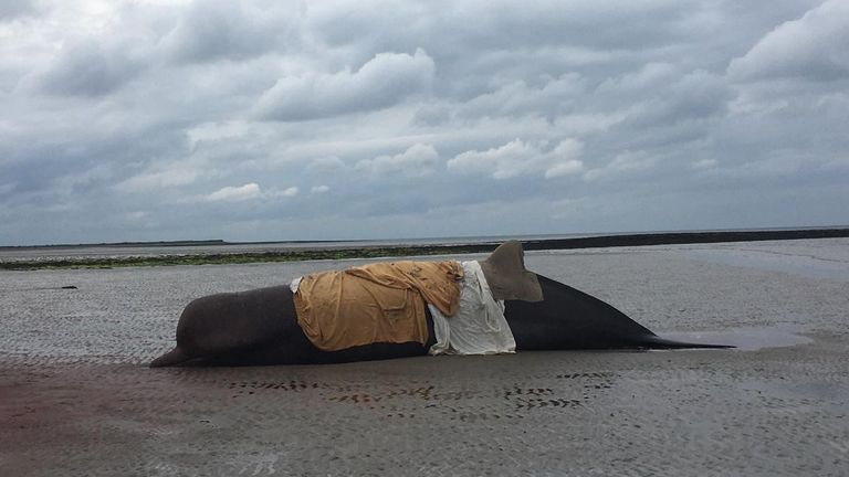One of the whales that washed up on the beach in Donegal, Ireland Pic: Nicola Coyle/ IWDG