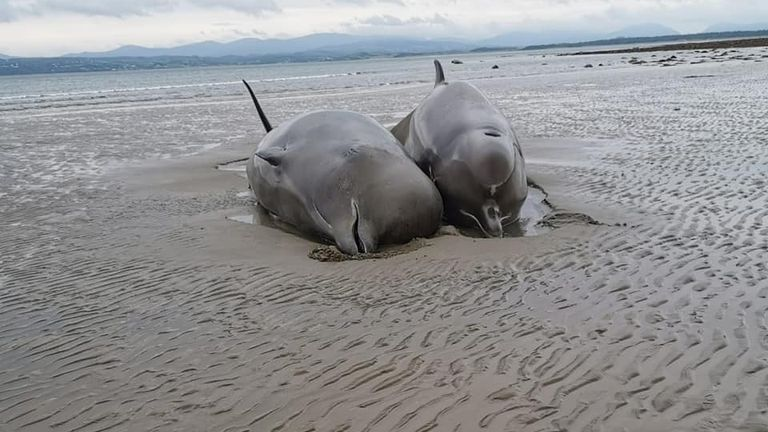 Two of the northern bottlenose whales. Pic: Nicola Coyle/ IWDG