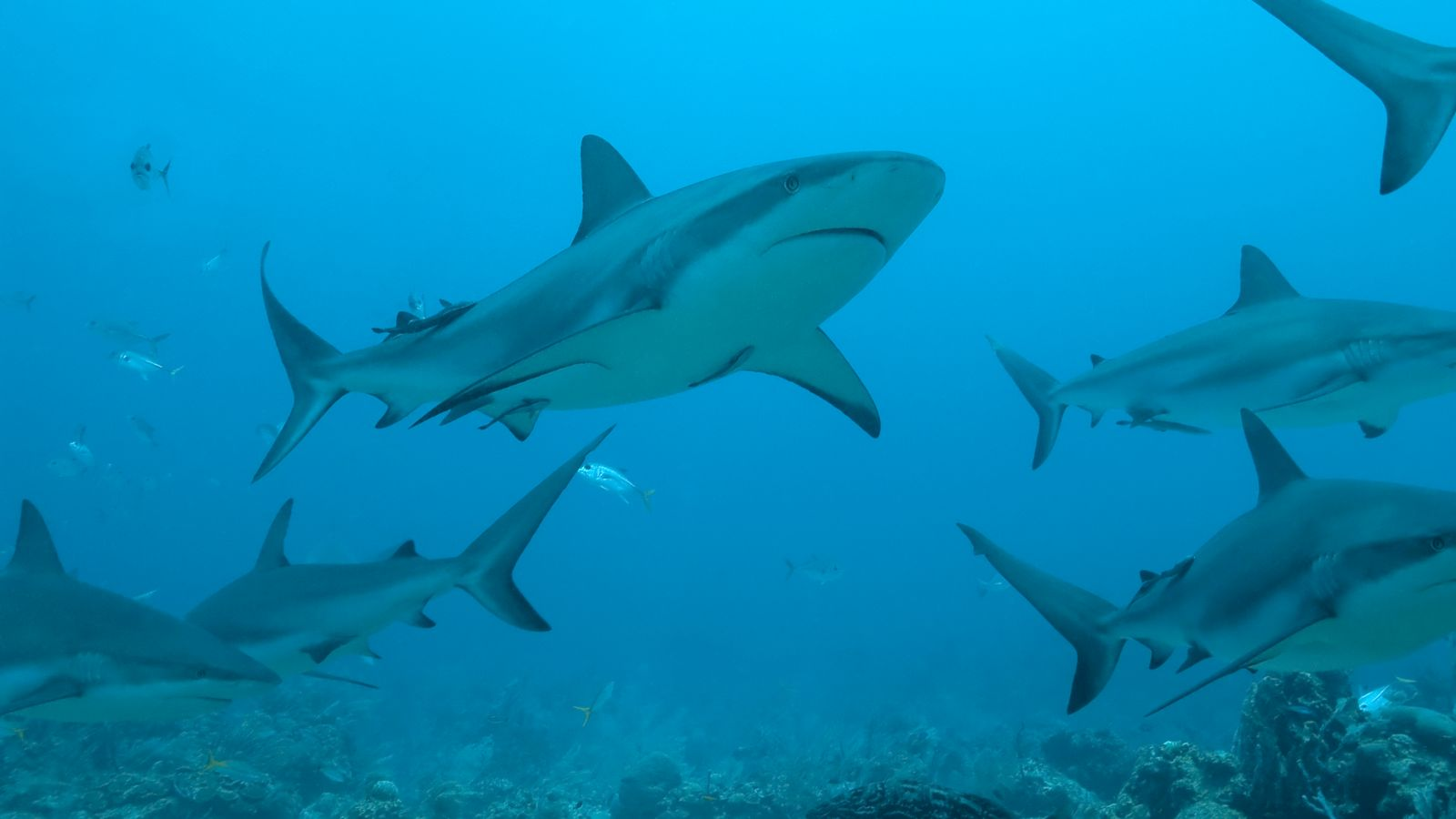 Coronavirus: Half a million sharks 'may per chance per chance be killed for vaccine', consultants warn - Sky Knowledge thumbnail
