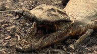 Caiman are having to drink from dwindling water supplies in the region
