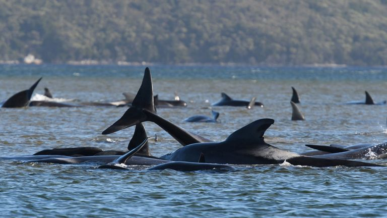 """TOPSHOT - This photograph taken on September 21, 2020 shows a pod of whales stranded on a sandbar in Macquarie Harbour on the rugged west coast of Tasmania. - Up to 90 whales have died and a """"challenging"""" operation is underway to rescue 180 more still stranded in a remote bay in southern Australia on September 22. Scientists said two large pods of long-finned pilot whales became stuck on sandbars in Macquarie Harbour, on Tasmania's sparsely populated west coast. (Photo by - / POOL / AFP) (Photo by -/POOL/AFP via Getty Images)"""