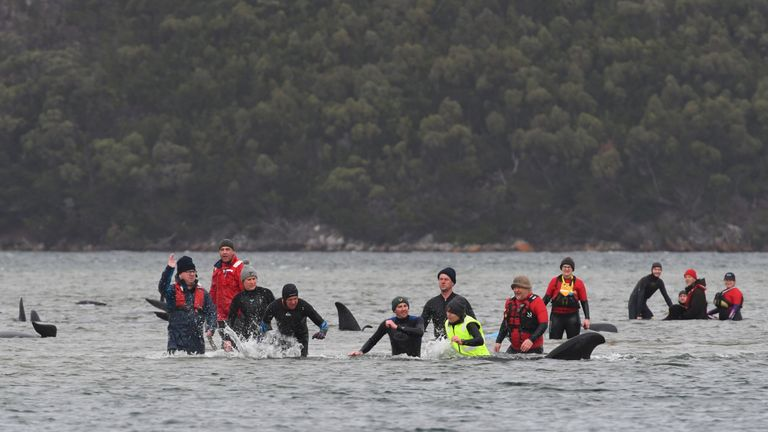 STRAHAN, AUSTRALIA - SEPTEMBER 22: Marine rescue teams attempt to help save hundreds of pilot whales stranded on a sand bar on September 22, 2020 in Strahan, Australia. More than 200 pilot whales are stranded on a sandbank at Macquarie Harbour on the west coast of Tasmania, with rescuers desperately trying to save the whales as more than 90 are feared dead. (Photo by Brodie Weeding/The Advocate - Pool/Getty Images)