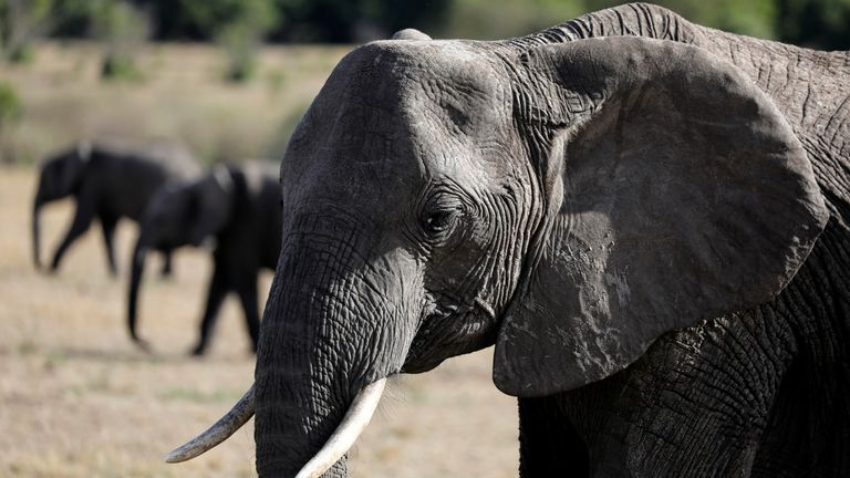Populations of African elephants have declined by 86% since 1976