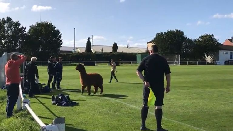 Oscar invaded the pitch during a match between Carlton Athletic and Ilkley Town
