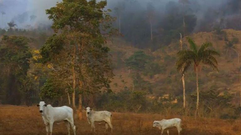 Rainforest burns behind grazing cattle