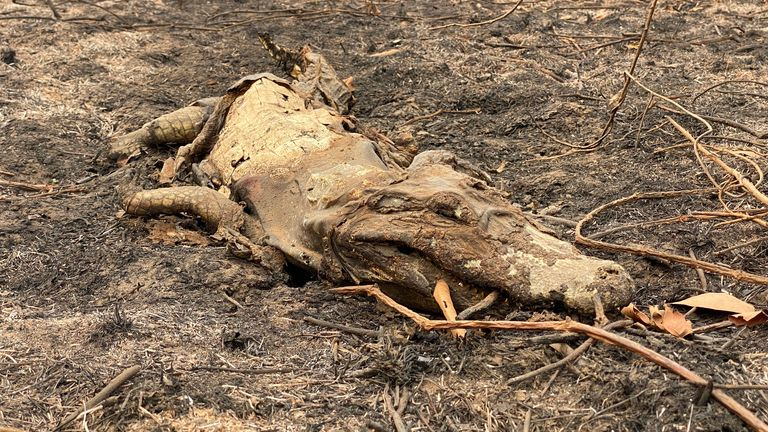 The bodies of caiman are seen where they died escaping the flames