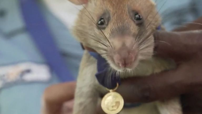 Magawa the rat poses with his gold medal