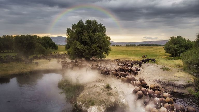 A buffalo herd is passing a lake before moving to its shelter where the herd will retreat to rest