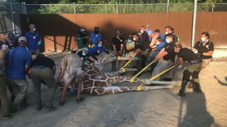 Pongo the giraffe goes under as over two dozen trained professionals try to fix his fractured feet.