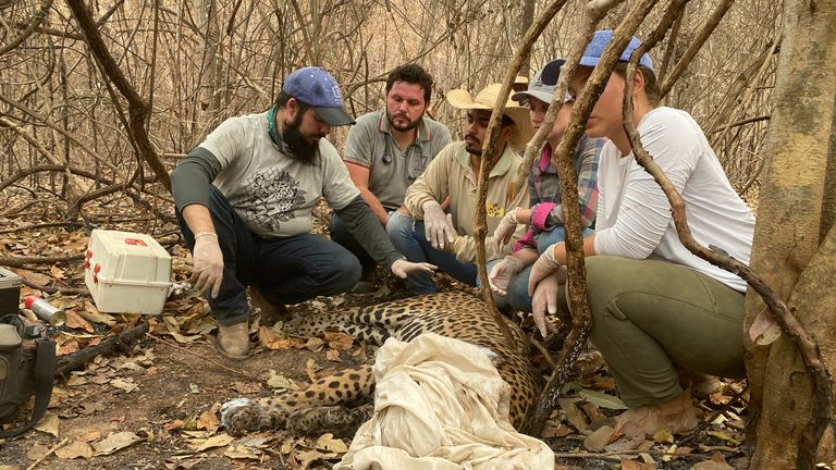 Eduarda Fernandes and her team treat and injured jaguar