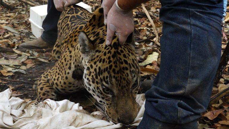 The rescue team sedates jaguar that need treatment