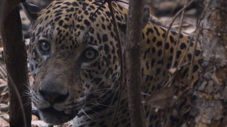 The fires have devastated the habit of jaguars who live in the region