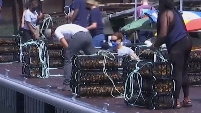 Millions of oysters are released into waters around New York City