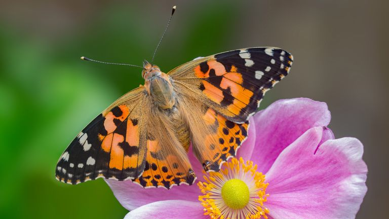 The Painted Lady butterfly species suffered the biggest drop in its numbers. Pic: Butterfly Conservation