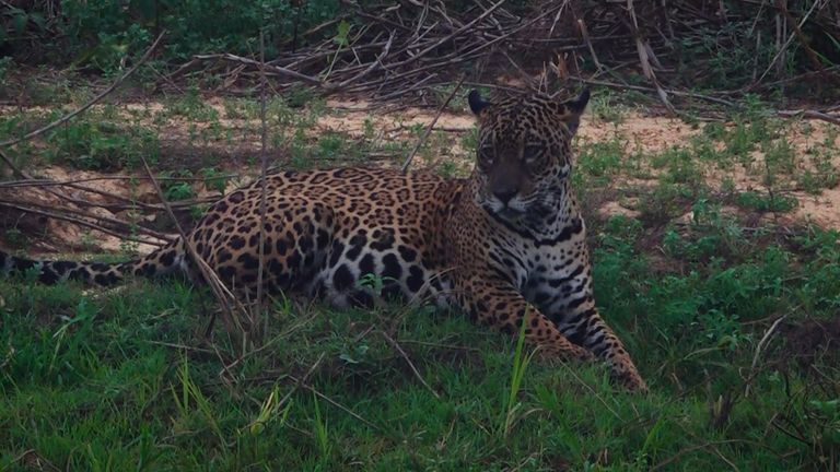 Jaguars are under threat as the Pantanal burns