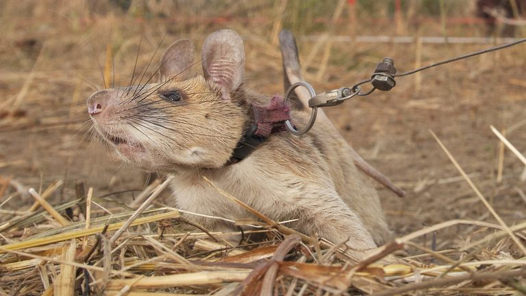 The giant African pouched rat discovered 39 landmines