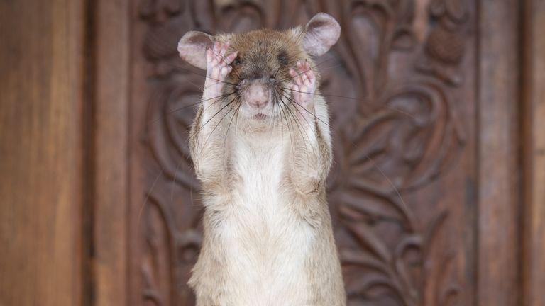 The landmine detection rat is nearing retirement