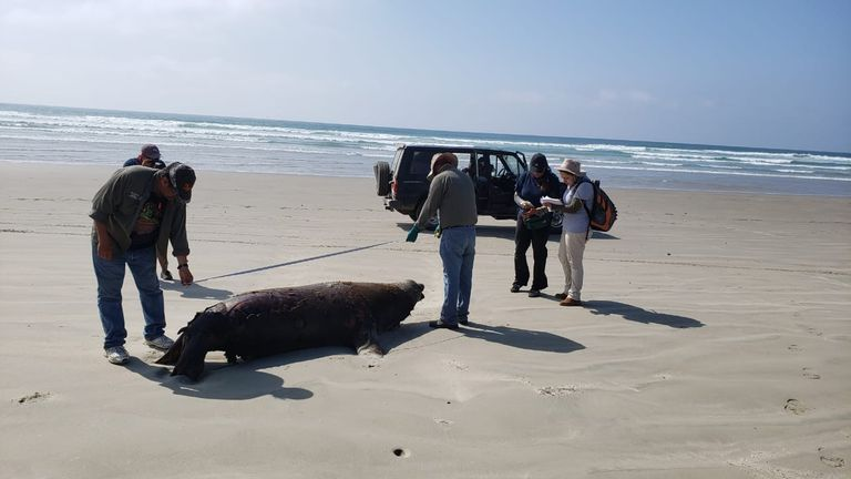 One of the 137 dead sea lions is seen on the beach in Baja California Sur state. Pic: SEMARNAT