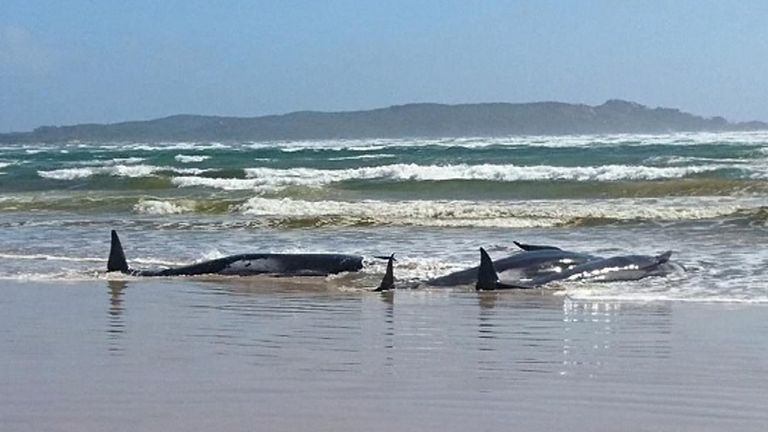 Approximately 250 whales are stranded in shallow waters off Tasmania's west coast