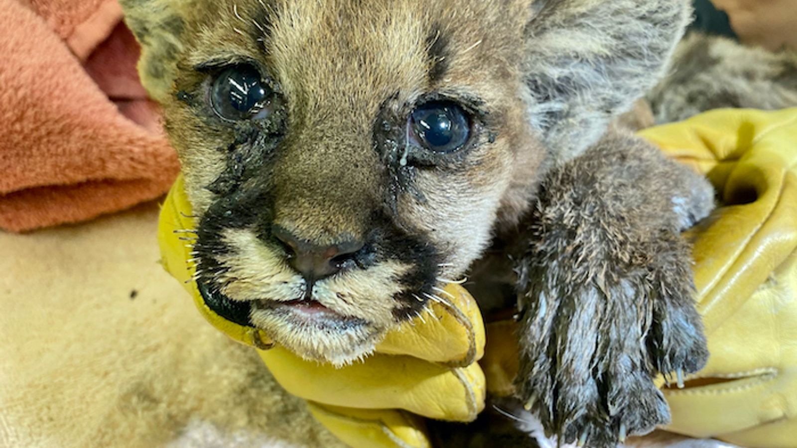 California wildfires: Orphaned and burned mountain lion cub rescued by firefighter
