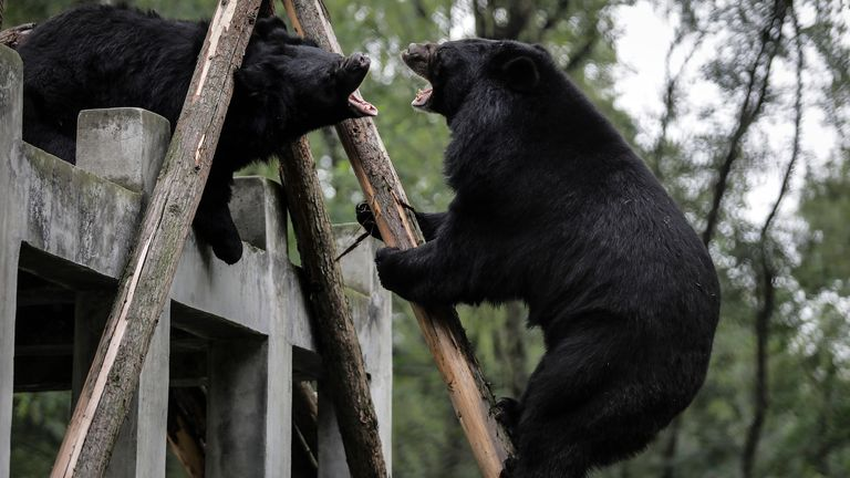 CHENGDU, CHINA - JULY 15: (CHINA OUT) Two moon bears rescued as part of Animal Asia Foundation's bear program on July 15,2019 in Chengdu, Sichuan province, China. Founded by Jill Robinson in 1998, The Animals Asia Foundation center has rescued more than 200 bears. With 58 bears still living today, it is illegal to hunt Asiatic black bears or Moon bears in the wild