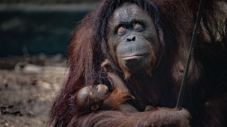 Undated handout photo issued by Chester Zoo of the Bornean orangutan born to mum Leia at the zoo. With Bornean orangutans critically endangered and at risk of extinction, it comes as a real boost for the species.