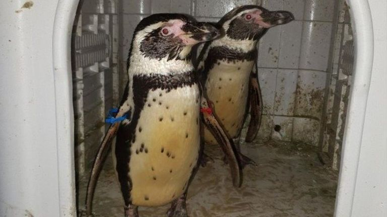 South Lakes Safari Zoo Cumbria two Humboldt penguins called Pablo and Penny stolen