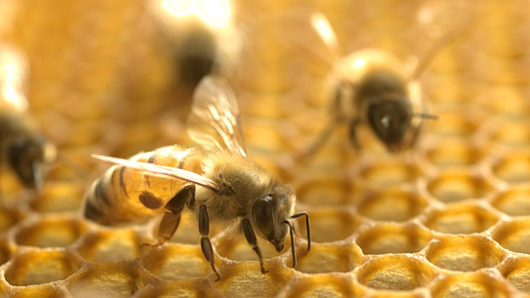 Hornets can kill an entire honeybee hive in hours