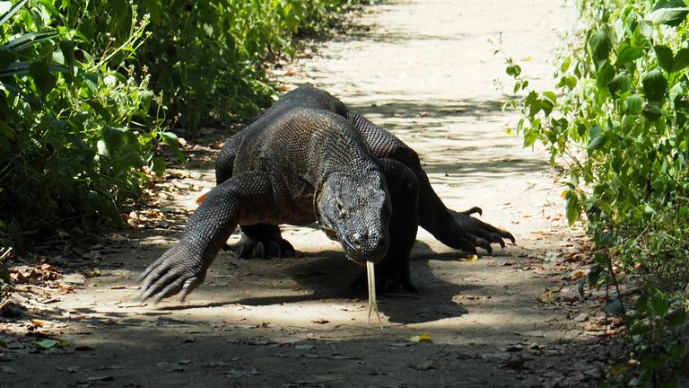 FILE PHOTO: A Komodo Dragon is seen in Komodo National Park