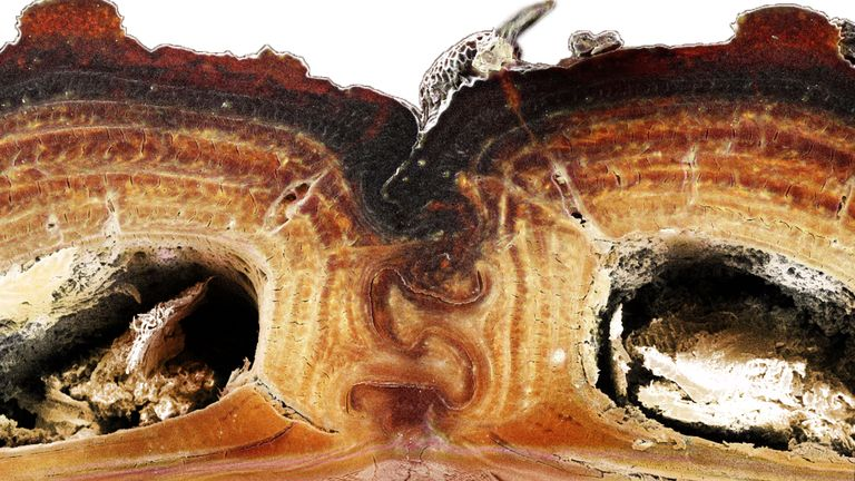 A cross section of the medial suture, where two halves of the diabolical ironclad beetle's elytra meet, shows the puzzle piece configuration that's among the keys to the insect's incredible durability. Jesus Rivera / UCI