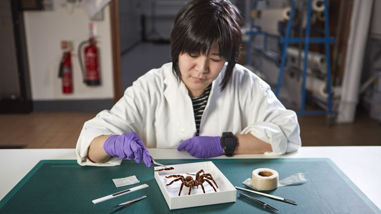 Cheryl Lynn working on a tarantula, one of the exhibits for the Natural History Museum's upcoming event