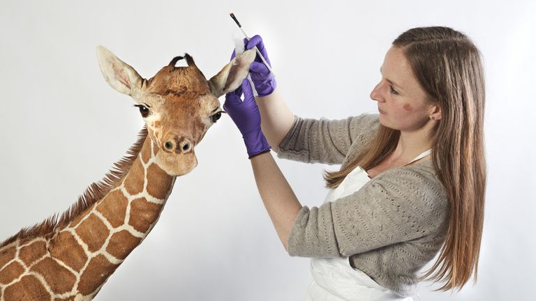 Chelsea McKibbon working on a giraffe, one of the exhibits for Fantastic Beasts: The Wonder of Nature
