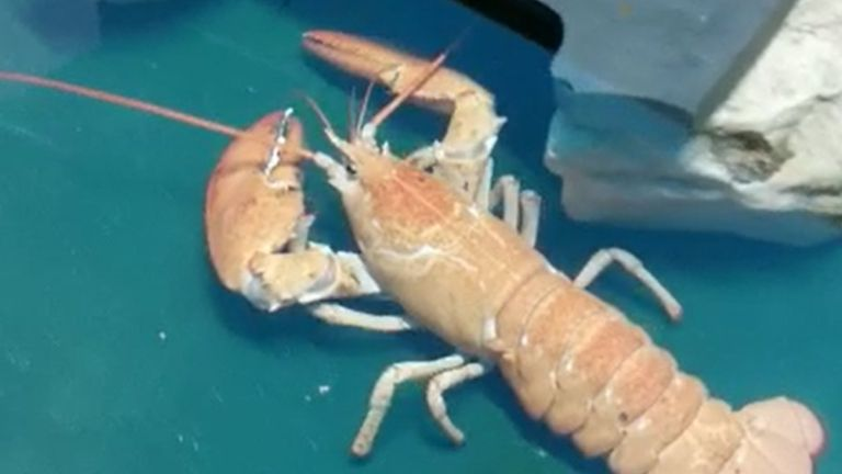A rare orange Canadian lobster has been rescued and re-homed in a Blackpool aquarium.